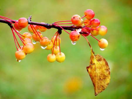 rowanberry: Red berry rowanberry
