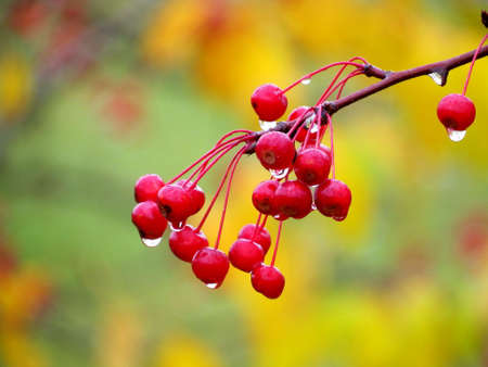 Red berry rowanberry
