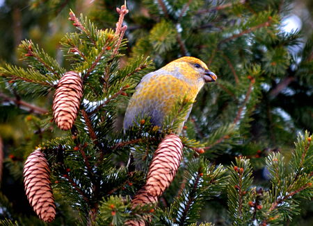 peck: Crossbills by autumn fly to gardens to peck fur big shots Stock Photo