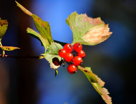horticultural: In Siberia grows much wild and horticultural berry