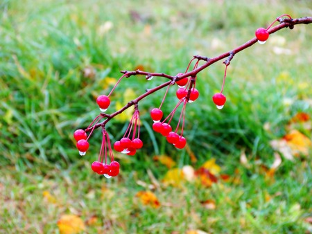 Red berry rowanberry, bull s-eye, are in winter covered by white snow Stock Photo