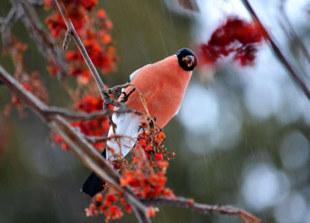 bull     s eye: At the end of the winter bullfinch are going to bull s-eye eats in gardens Stock Photo