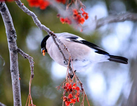 At the end of the winter bullfinch are going to bull s-eye eats in gardens Stock Photo
