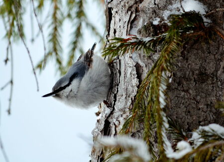 pecks: Nuthatch pecks insect on stem tree by autumn
