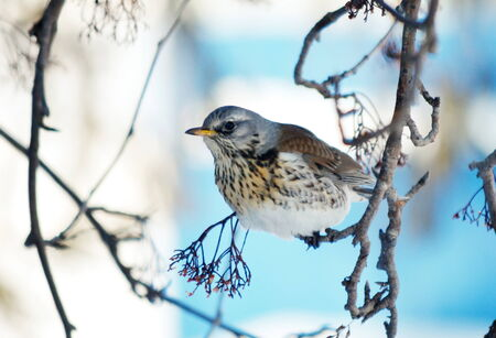 bull     s eye: In winter, the thrushes fly to eat berry in garden