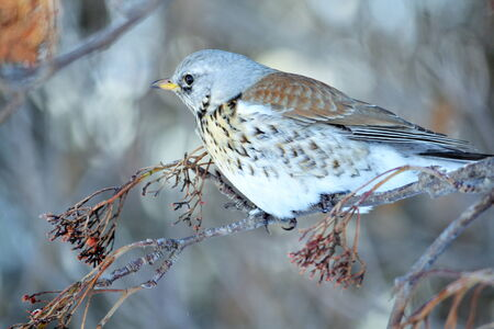 In winter, the thrushes fly to eat berry in garden