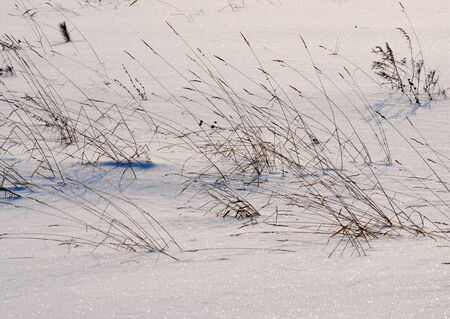 bulrushes: Severe cool winter came to wood and steppe Altaya