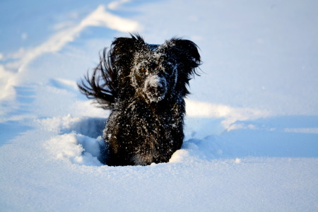burrows: Stray dogs in winter play with person