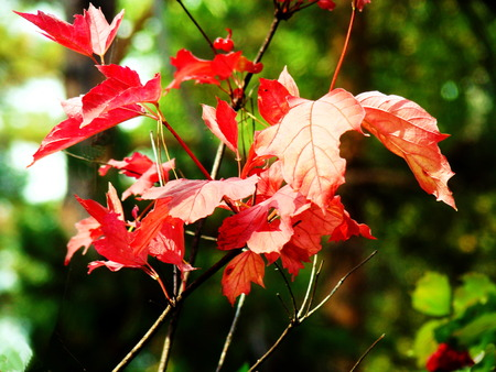 guelderrose: Leaves of a guelder-rose became covered by red color in September