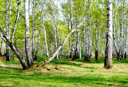 thawed: Springtime trees in steppe