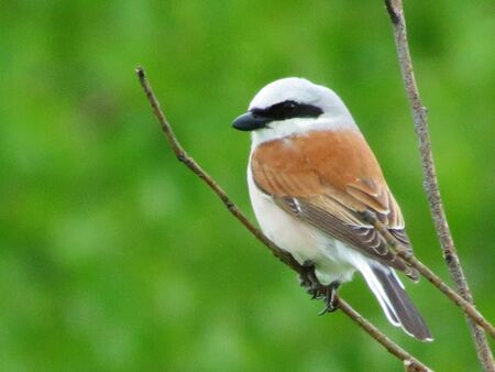 duplication: Small birds of the steppes form greater group an animal