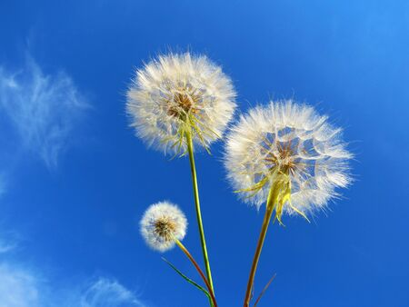 dandelion snow: White dandelions and blue sky Stock Photo
