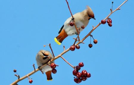 Kleine vogels van de steppen vormen een grotere groep een dier