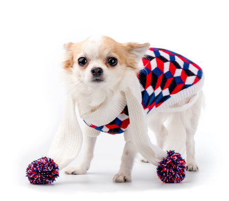 Chihuahua dog wearing bright turtleneck sweater and knitted scarf with pompoms standing on white background looking at camera  photo
