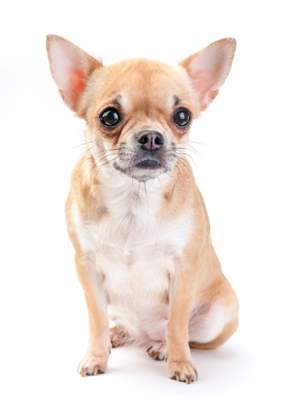 pale beige with white Chihuahua dog sitting on white background photo