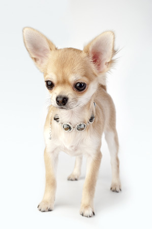 beautiful chihuahua puppy with necklace standing on neutral background photo