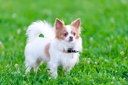 long haired chihuahua: isabella  blue-fawn  and white chihuahua dog portrait on green natural background  Stock Photo