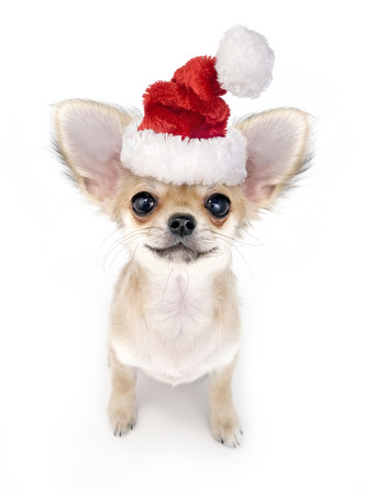 chihuahua puppy: Christmas Chihuahua puppy with Santa hat on white background Stock Photo