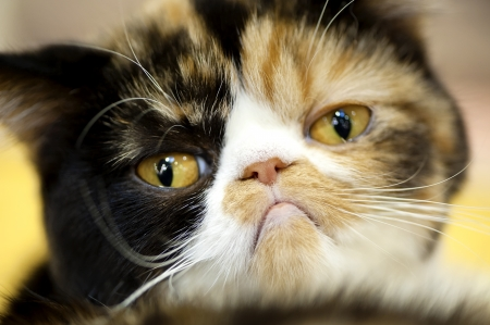 beautiful cat: grumpy facial expression Exotic tortoiseshell cat portrait close-up Stock Photo