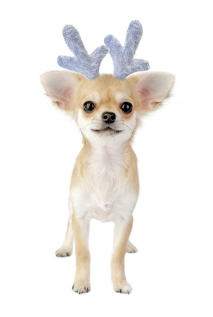 Christmas chihuahua puppy - reindeer isolated on white background