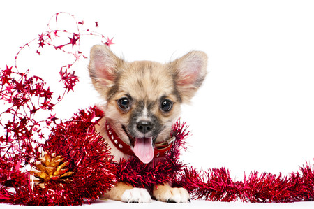 frippery: happy Chihuahua puppy in a frame of shining red tinsel with golden pinecone on white background, for Christmas and New Year s greeting card design