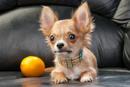 Chihuahua puppy with native Indian necklace and lemon on black leather background