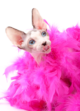 feather boa: funny face Canadian Sphynx cat with fluffy pink feather boa on white background