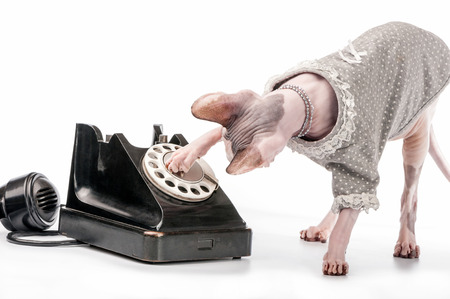 dialing: Canadian Sphynx cat with stylish dress, pearl necklace and black vintage phone on white background Stock Photo