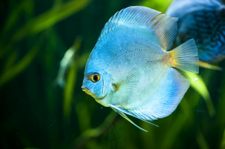 Blue Diamond Discus  Symphysodon aequifasciatus  -colorful tropical fish of the Amazon basin close-up in aquarium Stock Photo - 23218529