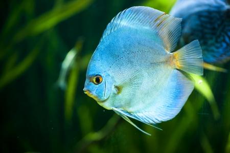 symphysodon: Blue Diamond Discus  Symphysodon aequifasciatus  -colorful tropical fish of the Amazon basin close-up in aquarium