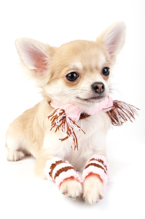 cute chihuahua puppy with striped socks and scarf on white background photo
