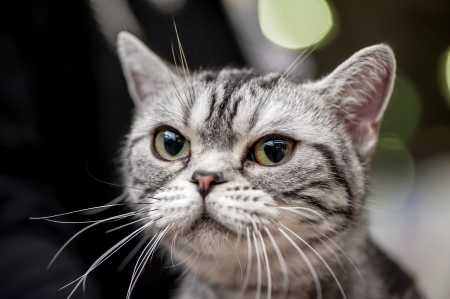 American Shorthair  Working  cat close-up portrait at cat show with blurred lights on background