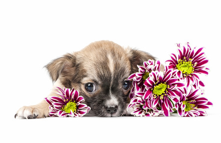 Chihuahua puppy lying down with colorful flowers on white background photo
