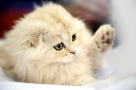 adorable Scottish fold kitten close-up on blurred background