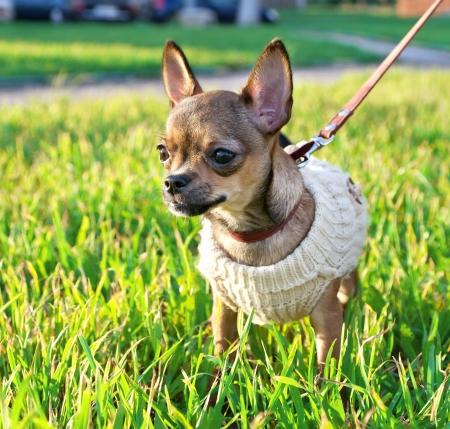 chiwawa: miniature chihuahua puppy wearing knitted jacket on sunny autumn day