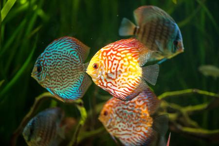 freshwater aquarium plants: flock of colorful Discus close-up in aquarium Stock Photo
