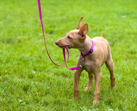 Cirneco Dell Etna, Sicilian Hound puppy playing with pink leash on green lawn
