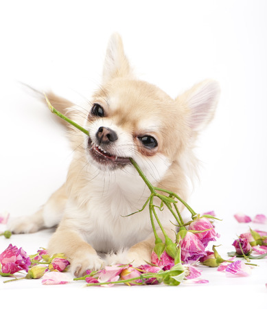 Smiling Chihuahua puppy giving pink roses on white background  photo