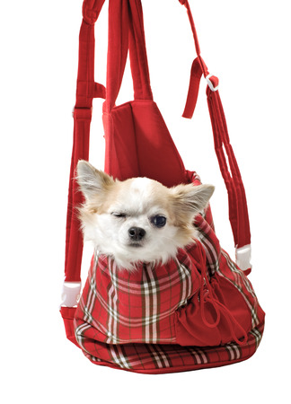 chihuahua dog in bright bag for pet carrier isolated on white background photo