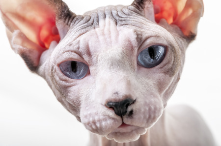 Canadian Sphynx cat portrait close-up on white background 版權商用圖片