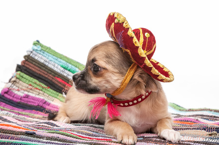 Chihuahua puppy wearing Mexican hat and red collar on striped rug against white background photo