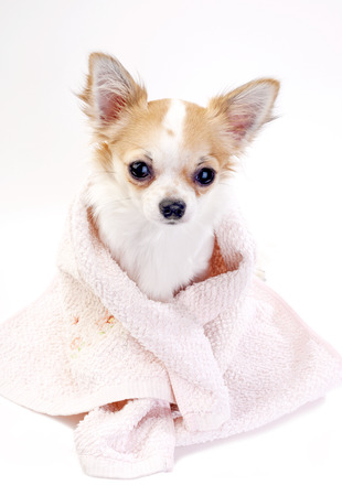 pampered Chihuahua dog wrapped in pink towel on white background