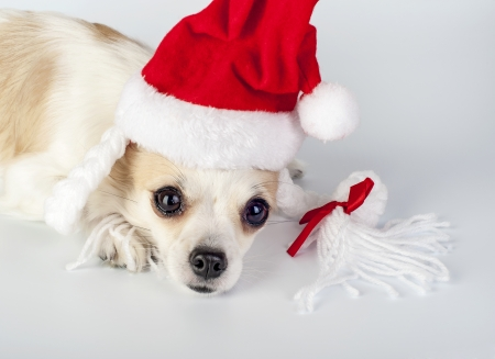 Chihuahua dog wearing Santa hat with pigtails and bow close-up on white background photo