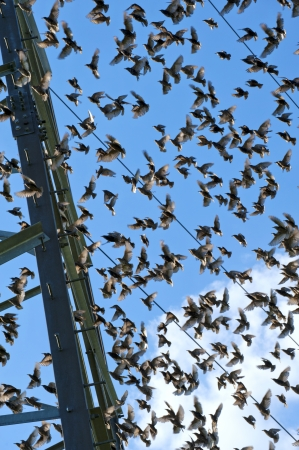 flock of young starlings flying on blue sky background photo