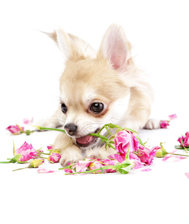 adorable chihuahua puppy with roses on white background photo