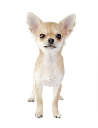 cute chihuahua puppy standing straight looking at camera isolated on white background Stock Photo