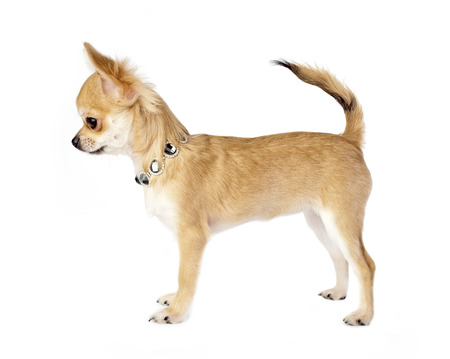 nice chihuahua puppy with necklace standing on white background side view photo