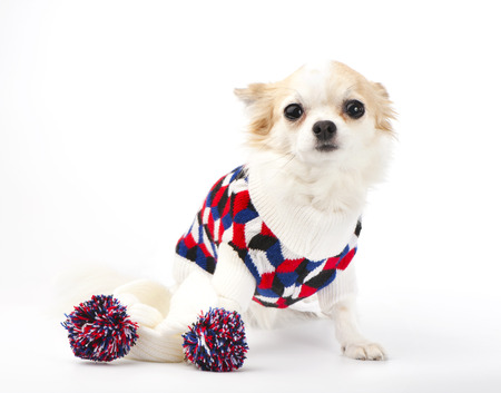 Chihuahua dog with bright sweater and knitted scarf on white background photo