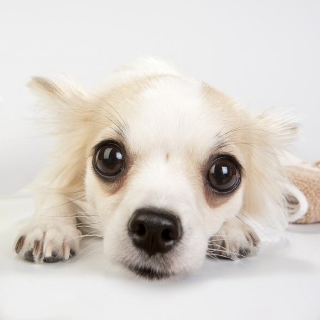 soulful eyes: amazing chihuahua eyes very close