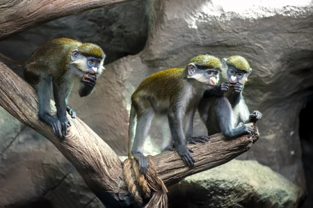 moustached: Redtail monkey, Black-cheeked White-nosed monkey, red-tailed guenon  Cercopithecus ascanius  at Moscow oceanarium